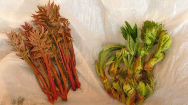 福島で手に入れた山菜