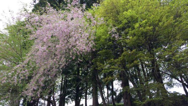 2021年4月末の大沢温泉の桜